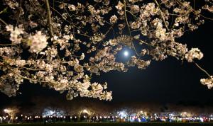 月夜の桜3