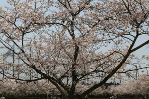 ハートに見えるという木
